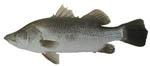 Barrafish