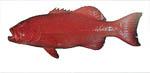 coral_trout