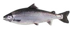 atlanticSalmon