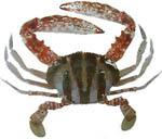 coral_crab