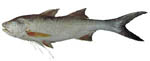 king_salmon