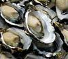 sydney_rock_oysters